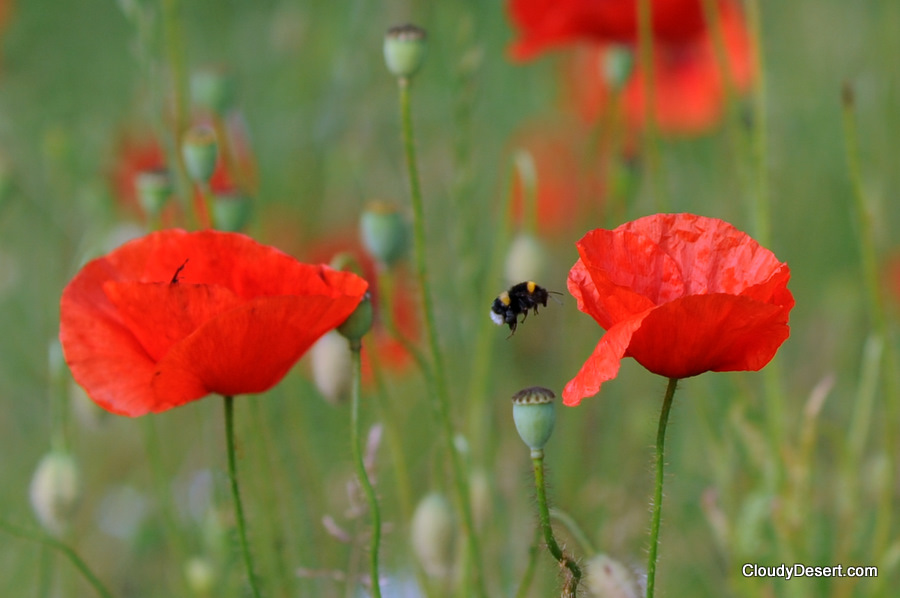Bumble bee flying to poppy
