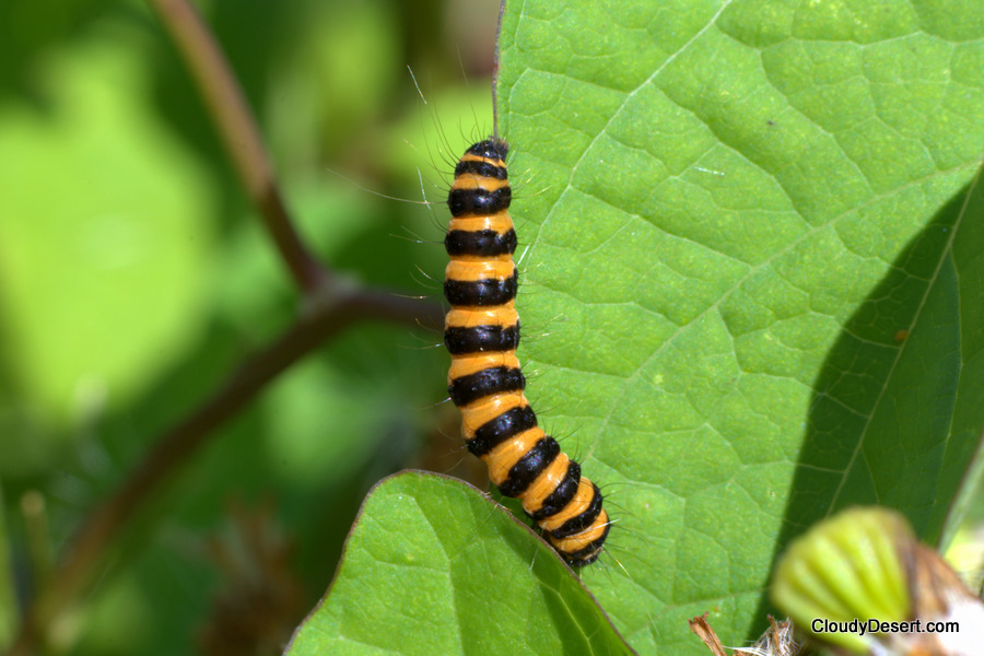 Stripy caterpillar