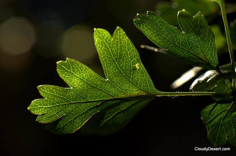 Leaf catching the evening sunshine
