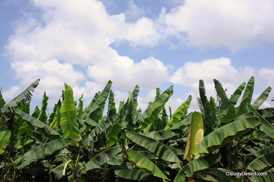 Banana and plantain trees on a sunny day