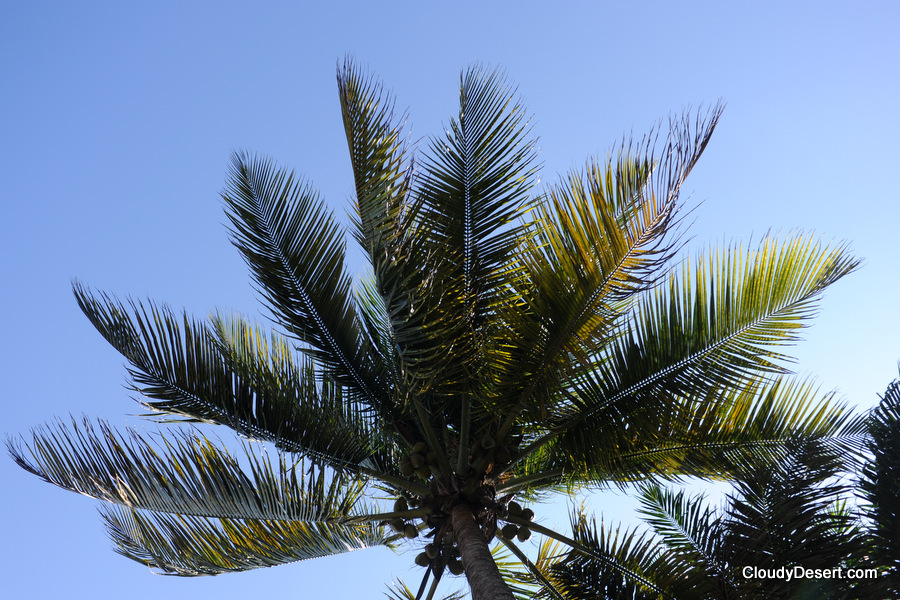 coconut tree leaves against the sky