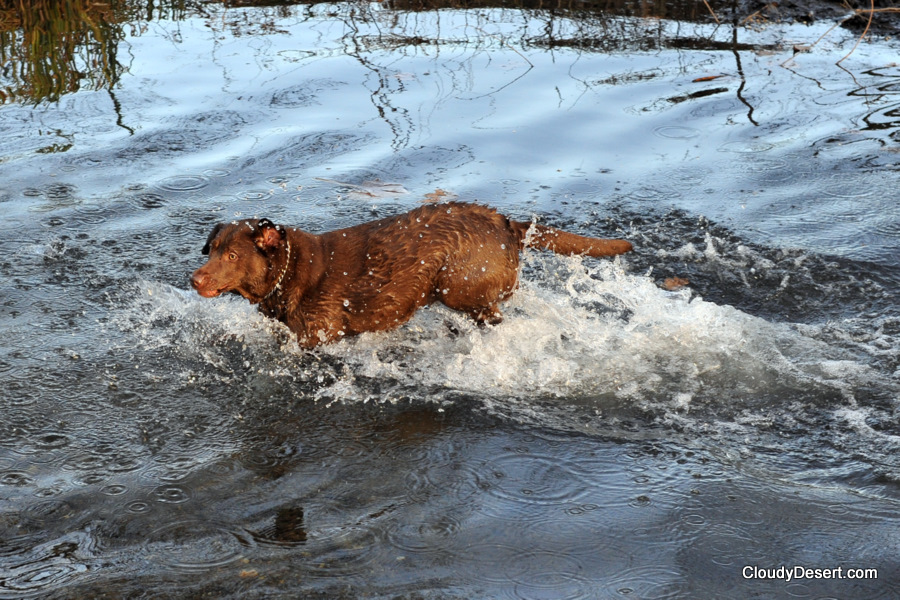 Labrador in water